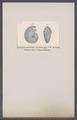 Ammonites pustulatus suevicus - - Print - Iconographia Zoologica - Special Collections University of Amsterdam - UBAINV0274 091 01 0077.tif