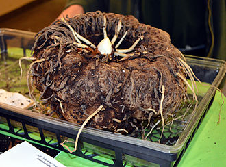 Amorphophallus titanum - Small corm of A. titanum, Muttart Conservatory, Edmonton, Canada.