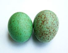 яйцо википедия