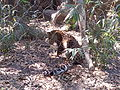 Amur leopard (Panthera pardus) at Jacksonville Zoo (3).jpg