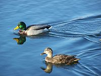 Two ducks, one gray with a green head and the other brown, paddle across a clear lake.
