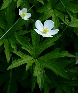 definition of anemone canadensis