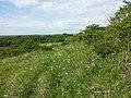 Anemone sylvestris sl21.jpg