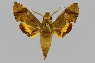 Angonyx meeki - Image: Angonyx meeki BMNHE813156 male up