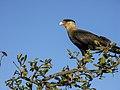 Animais serra da canastra gavião carcará IMG 4868.jpg