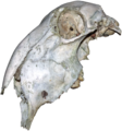 Animal skull.png
