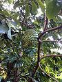 Annona muricata fruit Beqa Fiji.jpg