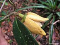 Annona salzmannii, araticum - Flickr - Tarciso Leão (8).jpg