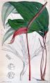 Anthurium trifidum CBM.png