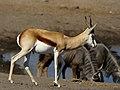 Antidorcas marsupialis.jpg