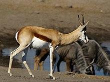 220px-Antidorcas_marsupialis.jpg