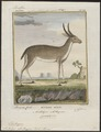 Antilope eleotragus - 1700-1880 - Print - Iconographia Zoologica - Special Collections University of Amsterdam - UBA01 IZ21400221.tif