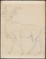 Antilope spec. - 1700-1880 - Print - Iconographia Zoologica - Special Collections University of Amsterdam - UBA01 IZ21400143.tif