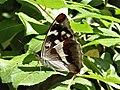 Apatura iris 13.jpg