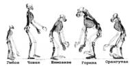 Ape skeletons (bg).png