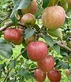 ApfelRewena171.JPG