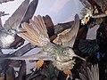 Apodiformes - Eulampis jugularis - 2.jpg