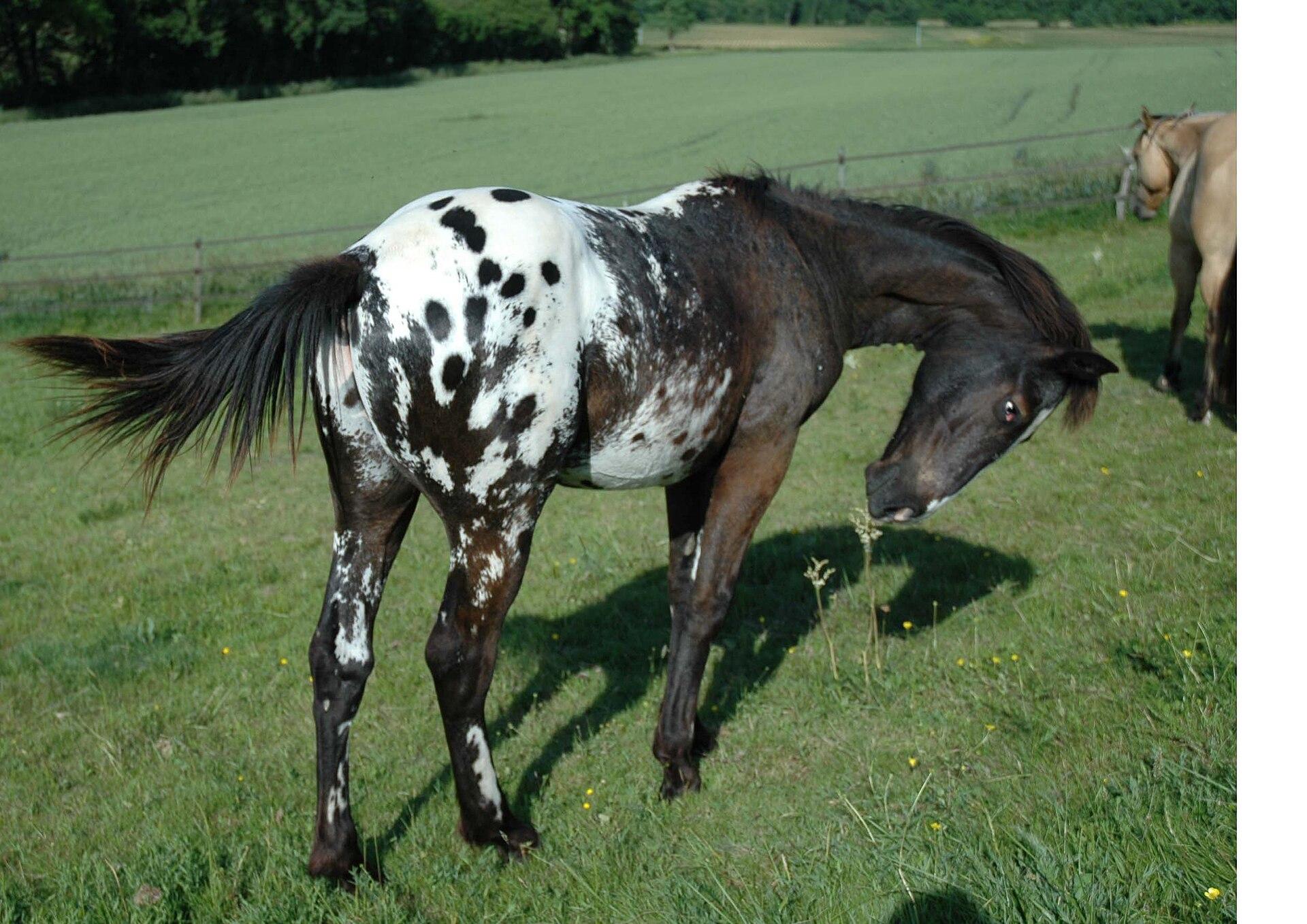 アパルーサ - Horse Scanner