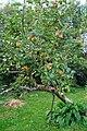 Apple tree, Drumgorman - geograph.org.uk - 1009328.jpg
