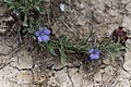 Aptosimum arenarium kanske-2399 - Flickr - Ragnhild & Neil Crawford.jpg