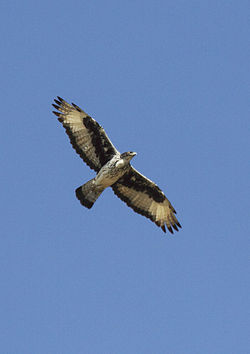 Aquila spilogastra -Kenya -flying-8.jpg