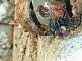 Araña Capulina.jpg