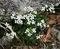 Arabis alpina 1.jpg