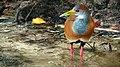 Aramides albiventris, Tulum, Mexico.jpg