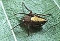 Araneus.ryukyuanus.female.-.tanikawa.jpg