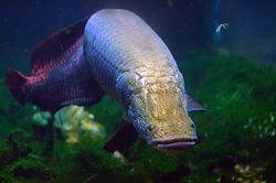 Arapaima gigas at National Zoo.jpg
