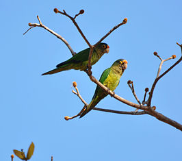 Aratinga canicularis -Costa Rica -two-8.jpg