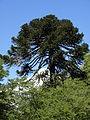 Araucaria araucana by Scott Zona - 003.jpg