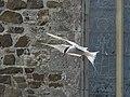Arctic Tern by St Cuthbert's Chapel - geograph.org.uk - 448573.jpg