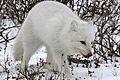 Arctic fox (6357004741).jpg