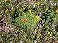 Arctopus echinatus P1030649.JPG