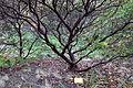Arctostaphylos pallida - Regional Parks Botanic Garden, Berkeley, CA - DSC04533.JPG