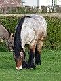 Ardennais mâle hongre bai rouanné pangaré et âne.jpg