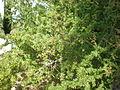 Argania spinosa 1c.JPG
