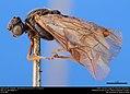 Argid sawfly (Argidae, Aprosthema brunniventre (Cresson)) (36614016795).jpg
