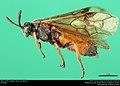 Argid sawfly (Argidae, Arge cyra (Kirby)) (36217553670).jpg