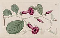 Argyreia cuneata Bot. Reg. 8. 661. 1822.jpg