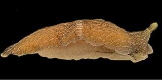 <i>Armina neapolitana</i> species of mollusc