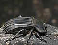 Armoured Darkling Beetle (Anomalipus expansicollis) (12715774575).jpg