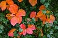 Aronia leaves on a rainy autumn day in Tuntorp 5.jpg