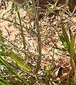 Artemisia ludoviciana ssp albula 5.jpg