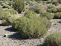 Artemisia nova 6.jpg
