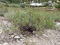 Artemisia rothrockii (7832382286).jpg