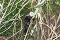Arundinicola leucocephala -Trinidad and Tobago -male-8.jpg