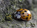Asian Lady Beetle in Central-Germany & a mite (7117892841).jpg