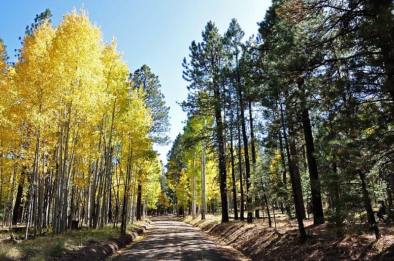 File:Aspen trees line FR418 (3972264452).jpg